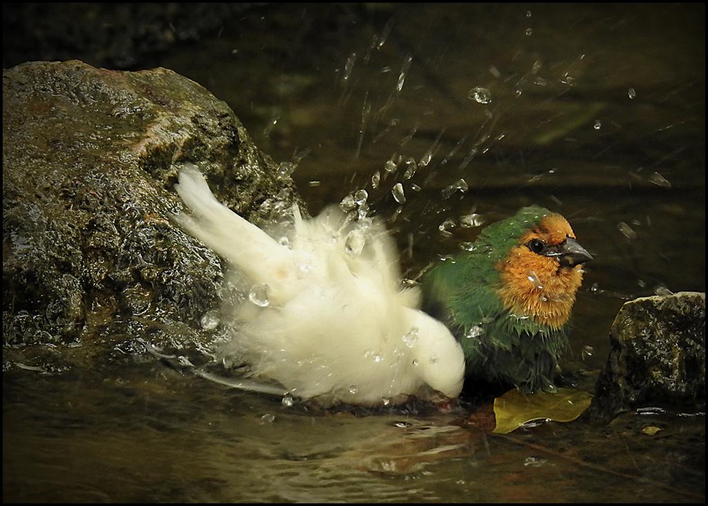 banyan-se en el rierol