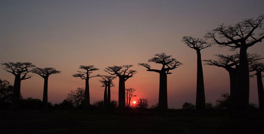 Madagascar baobad