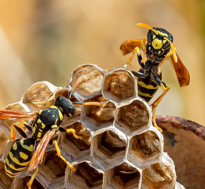 Niu de vespes