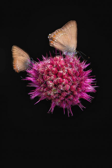 Papallones en una flor