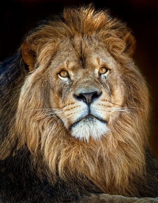 Retrato Rey leonRetrato Rel Leon
