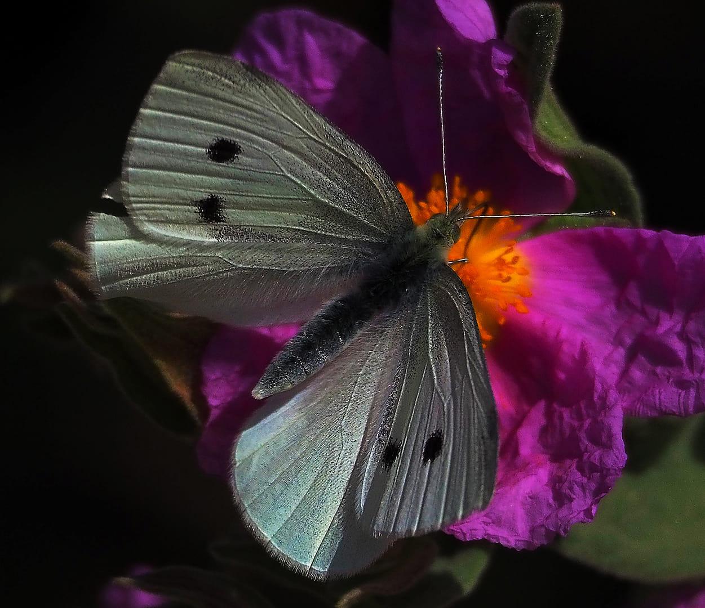 papallona i flor