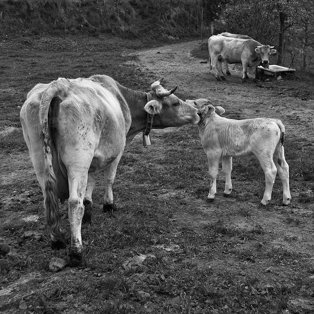 Vaques 1