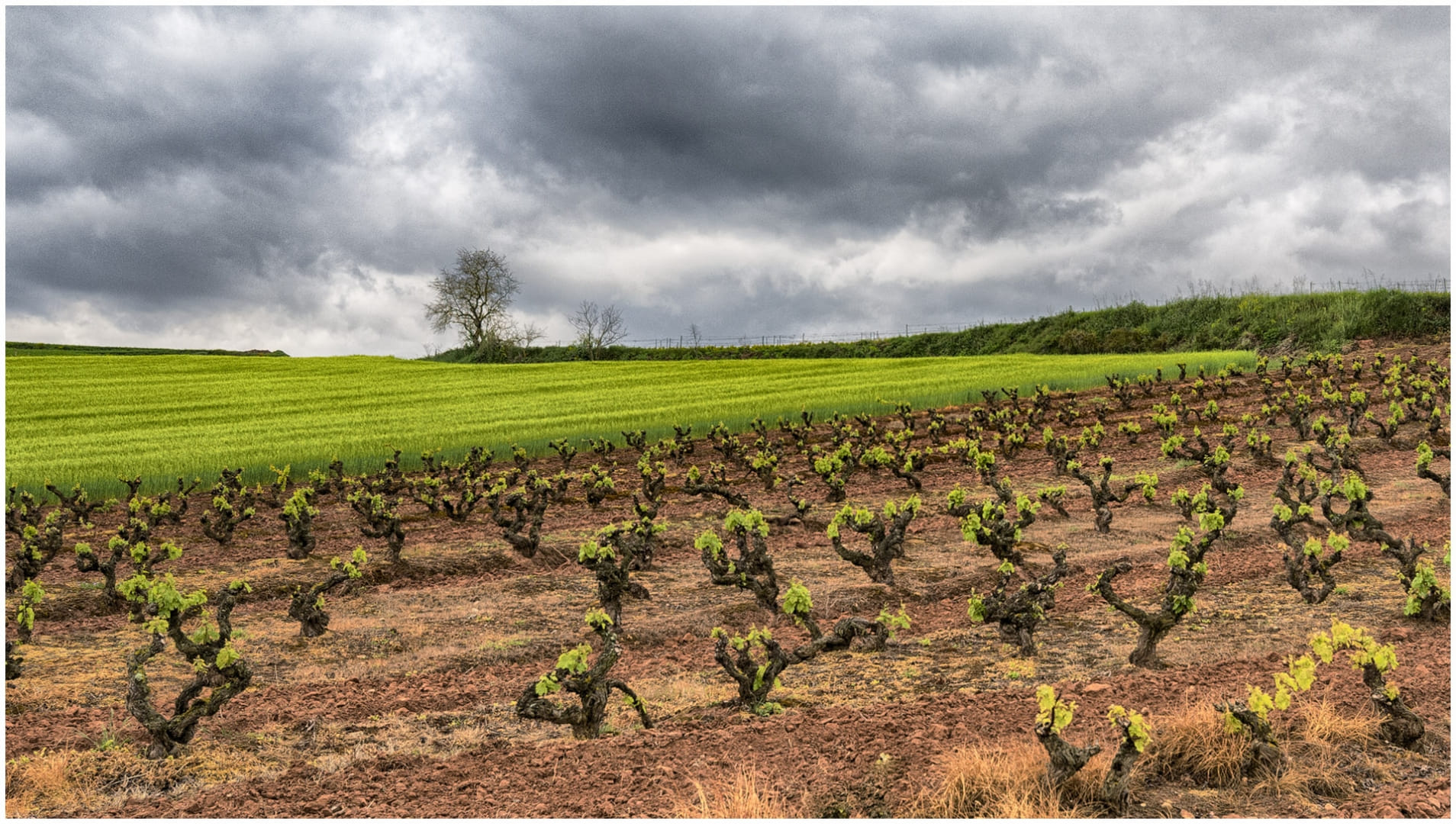 Viñas verdes