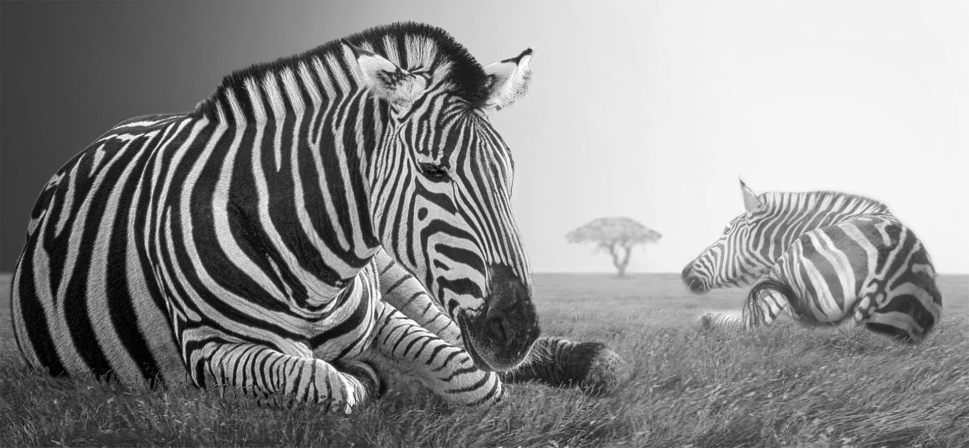 El repòs de les zebres