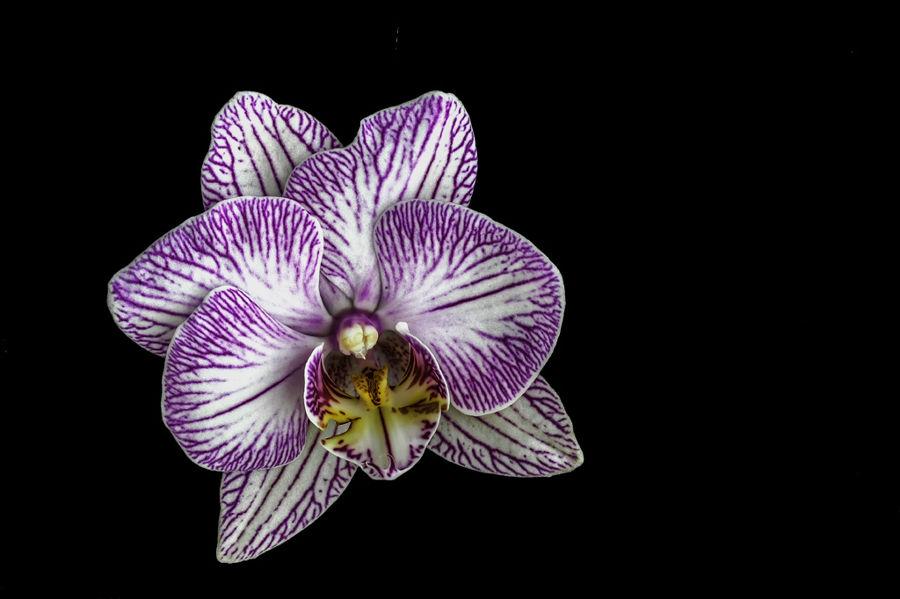 Orquidea-III