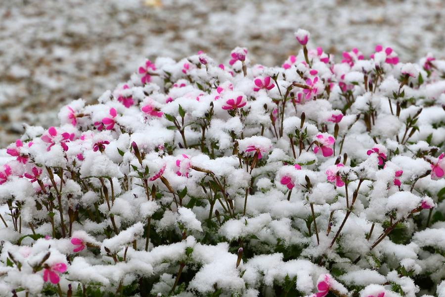 Floretes a la neu