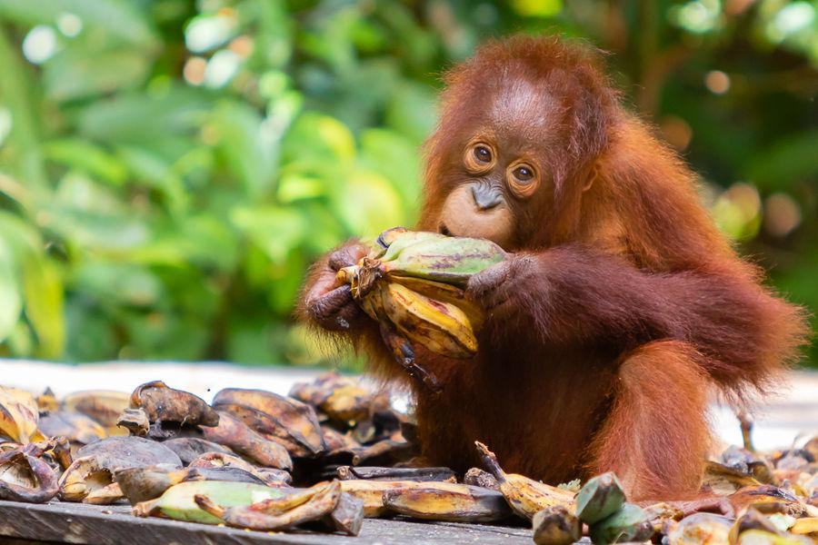 Petit orangutan