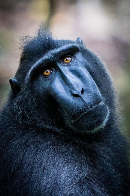 Macaco negre