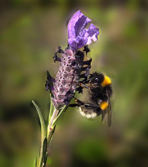 Cap d'ase amb abella