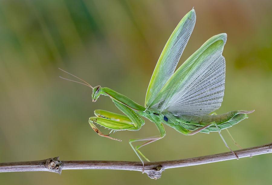 La danza de la Mantis