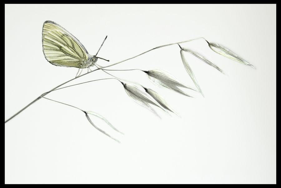 avena fatua y mariposa