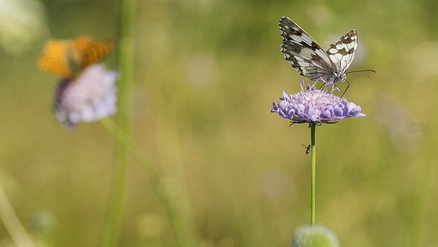 papallonas