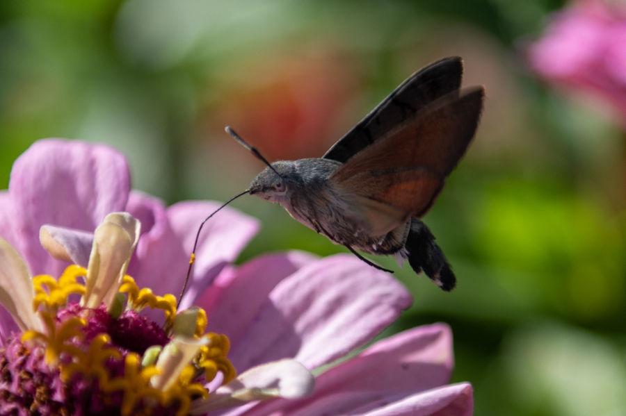 Mariposa Colibri