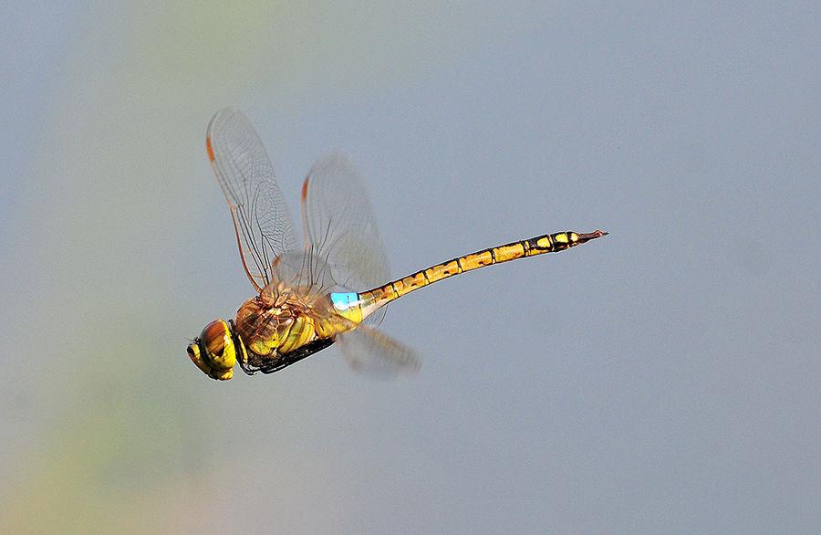 libélula al vueloEmperatriz emigrante