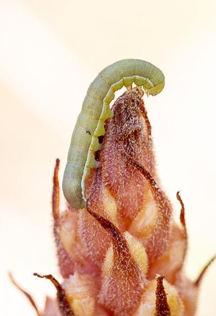 Orobanche gracilis