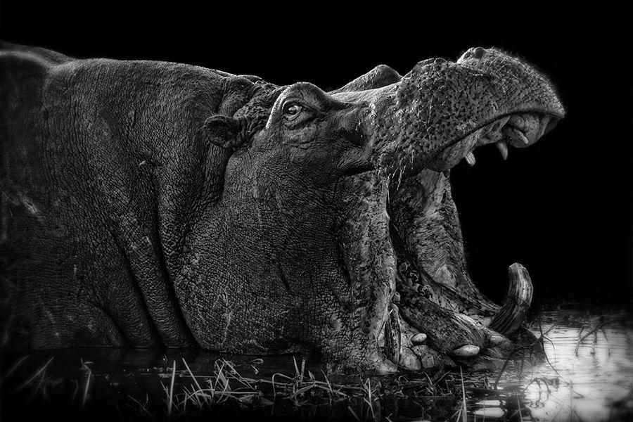 Natura - hipopotamo