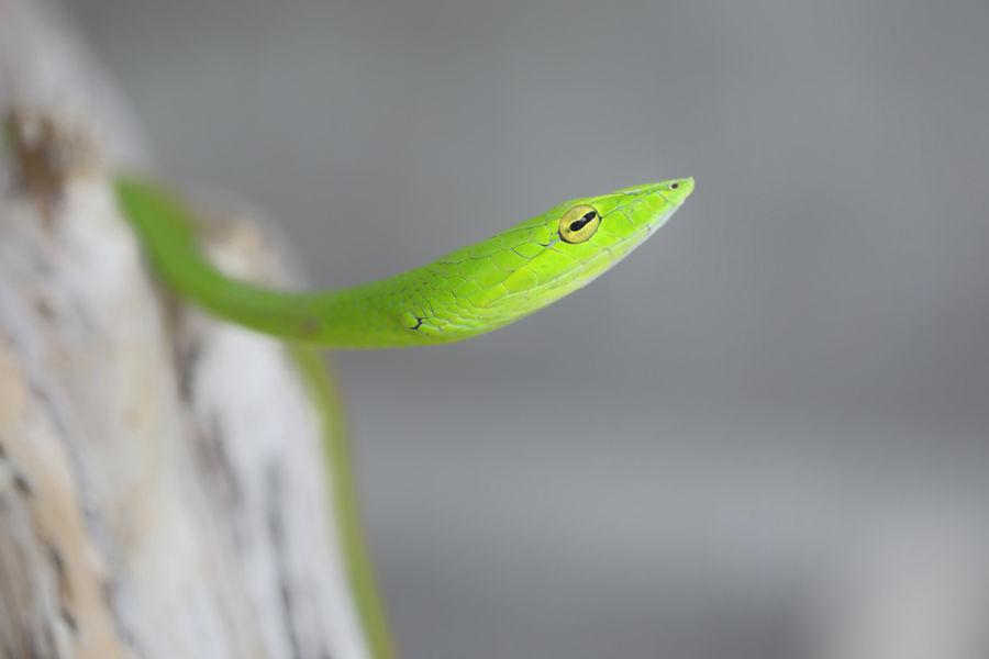 Mamba vert