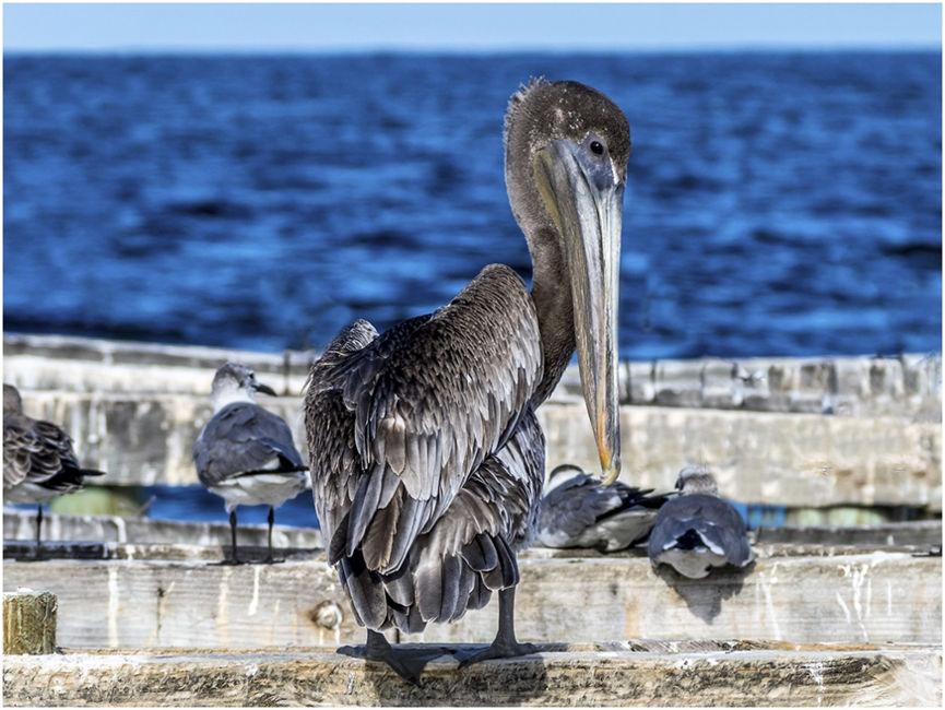 Pelikano