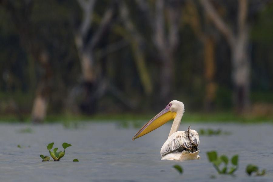 Pelica al llac Naicasha