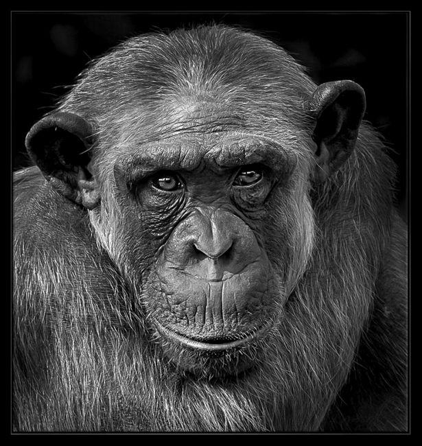 Retrato de un mono primer plano