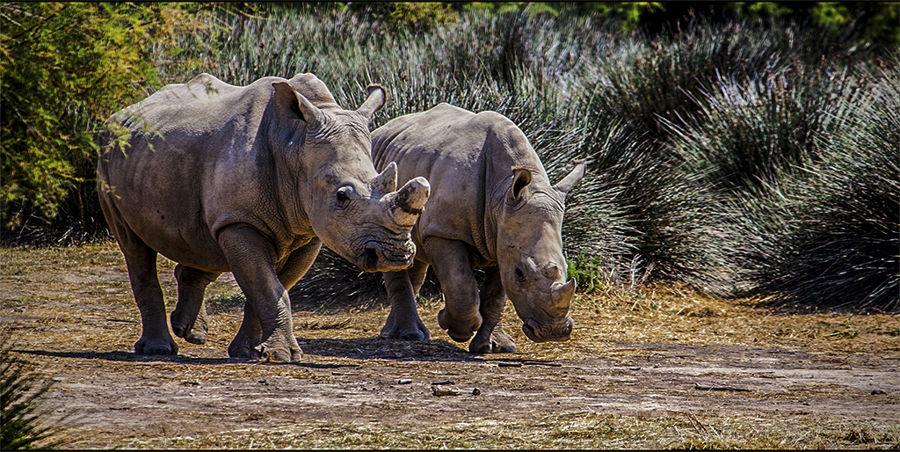 rinoceronts