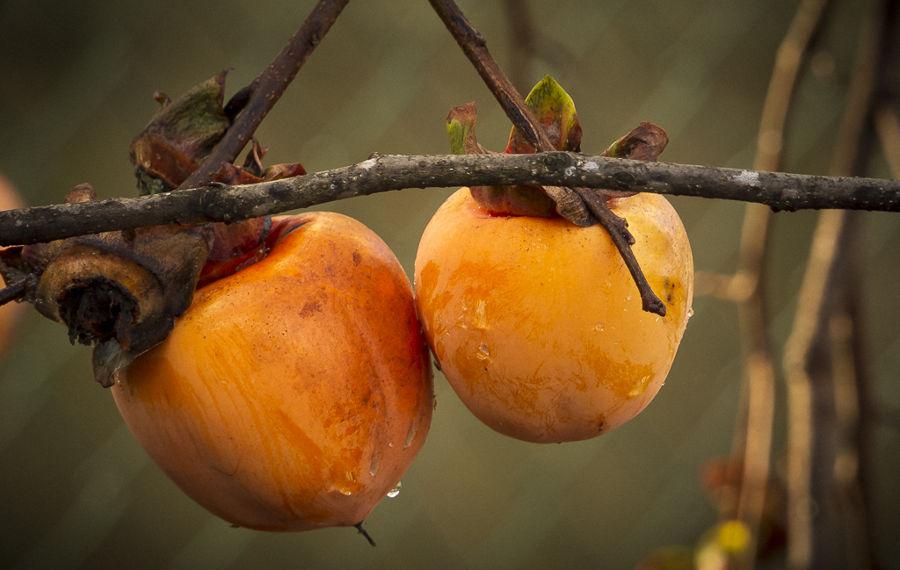 FRUITS  DE TARDORKAKIS