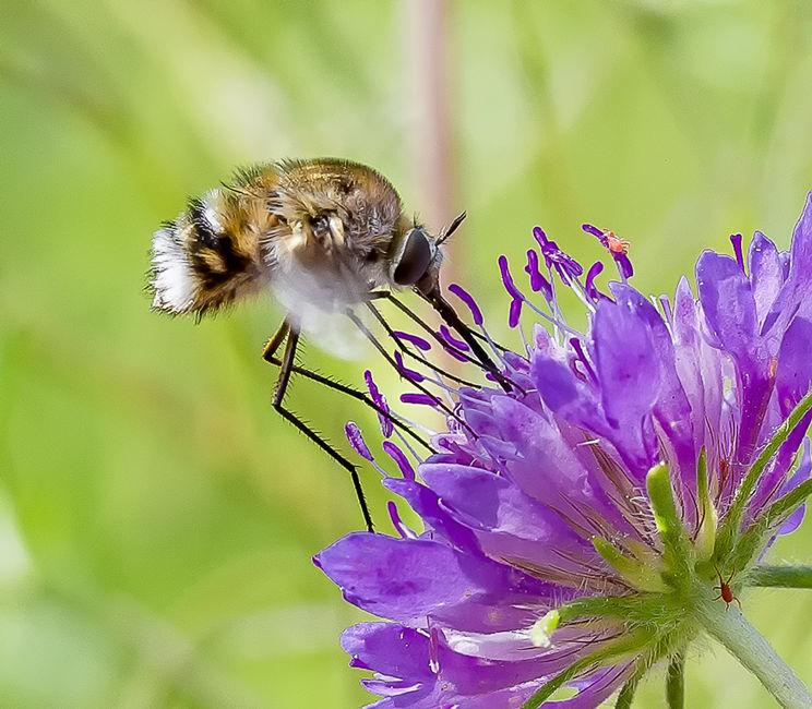 Mosca-abella en florMosca-abella en flor