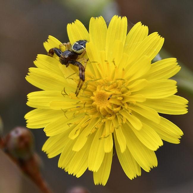 Araña en Flor