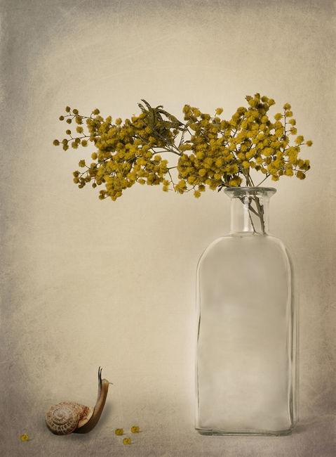 Cargol-Mimosa