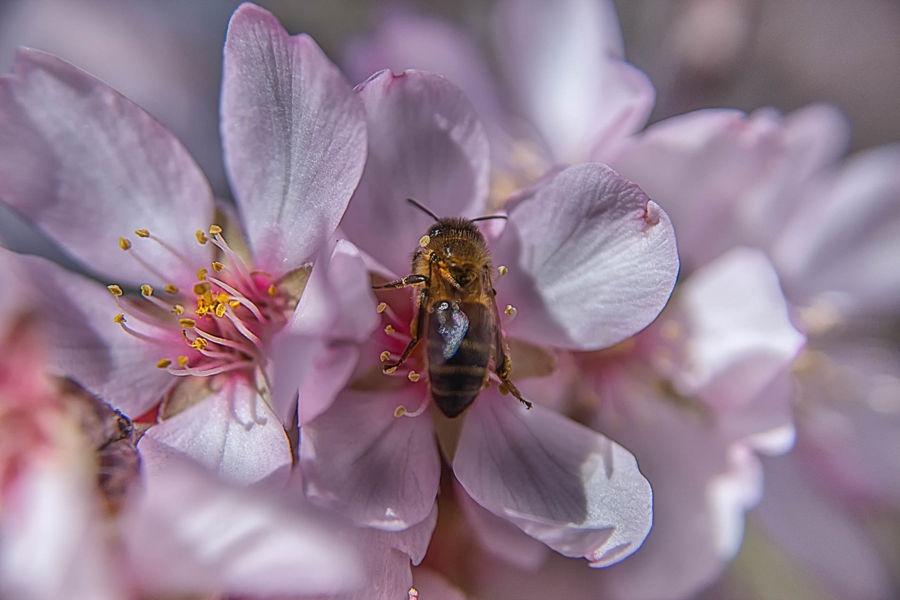 Polinitzant flor d'admatller