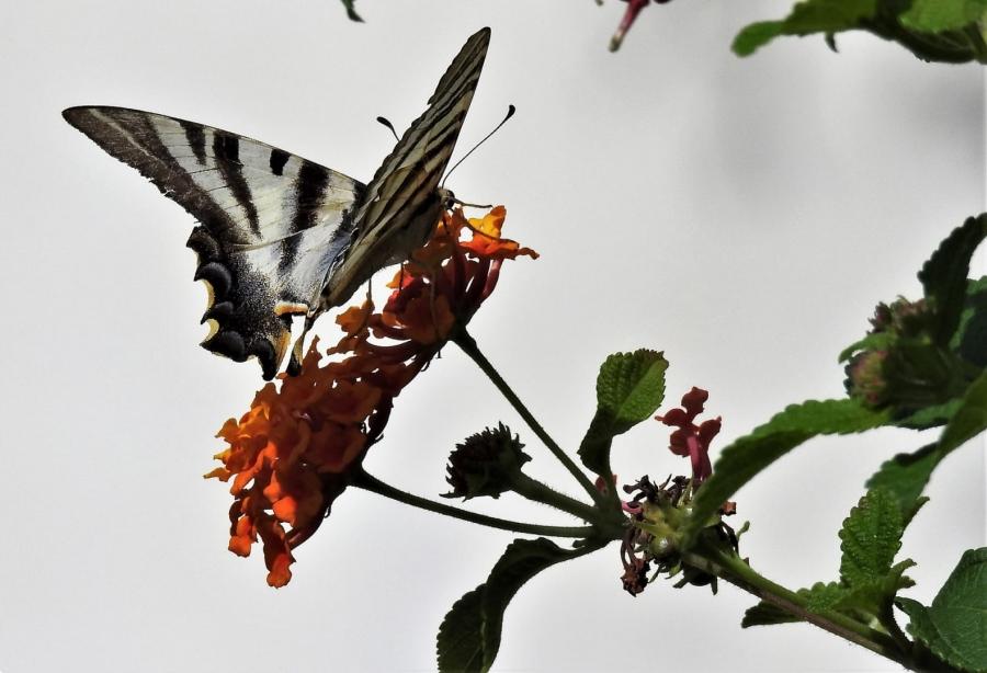 Papallona Zebrada