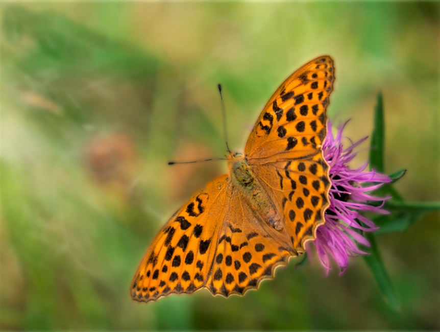 BUTTERFLY- PAPELLONE