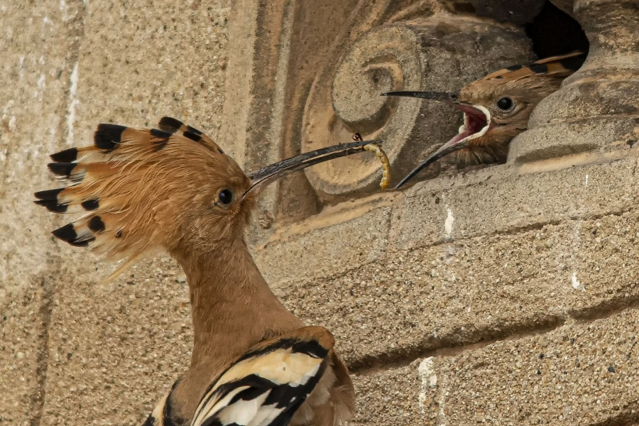 Abubilla dando de comer a su cria