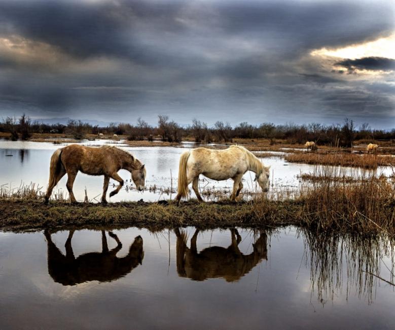 Cavalls als aiguamolls