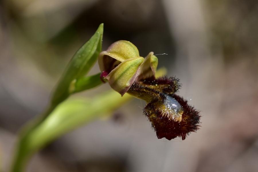 Orquidea abellera de mirall