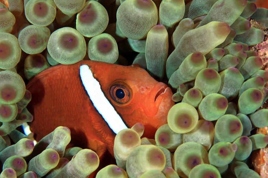 Clownfish a la seva anèmona