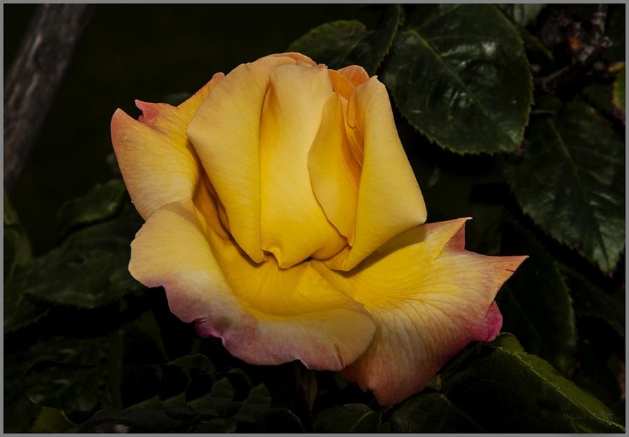 Flor de maig