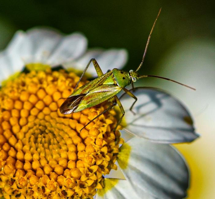 Flor i Insecte