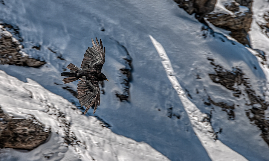 SWISS BIRD