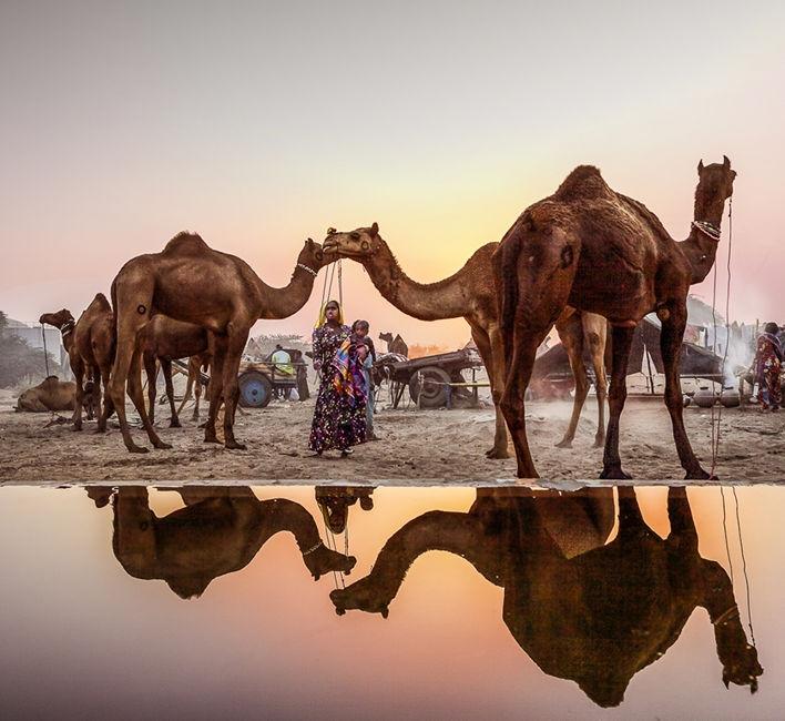 abeurant els camells