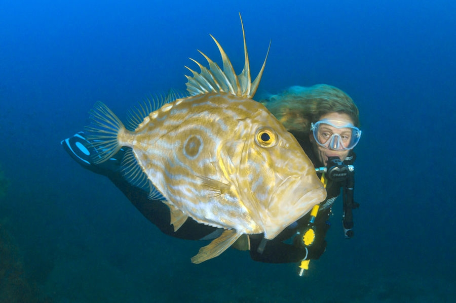 Zeus Faber o peix de sant Pere