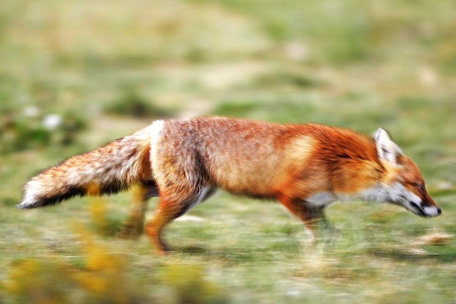 SPEED FOXY