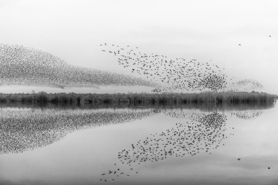 Starlings murmurations Joaquin Forner