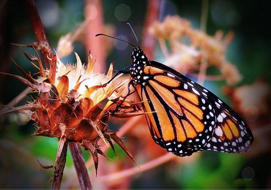 Papallona monarca