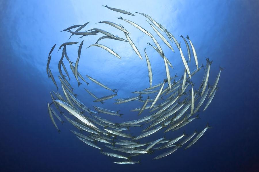Barracuda's circle