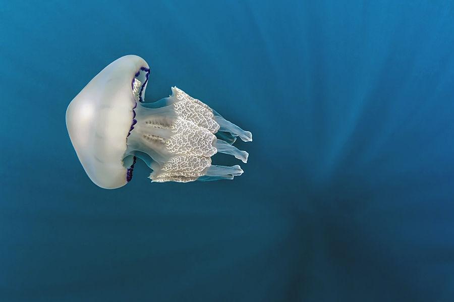 Medusa - Rhizostoma pulmo