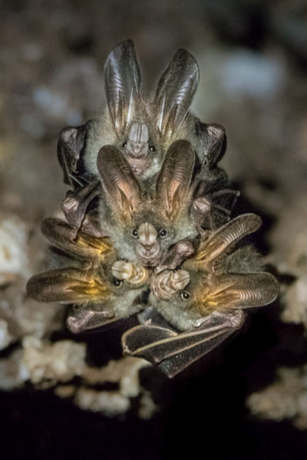 Ratpenats a Tangkoko (Indonèsia)