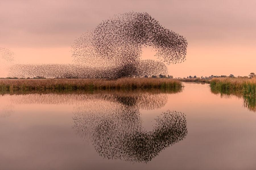 Starlings murmurations