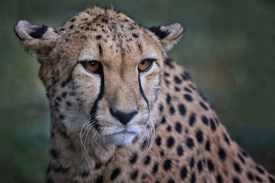 guepard